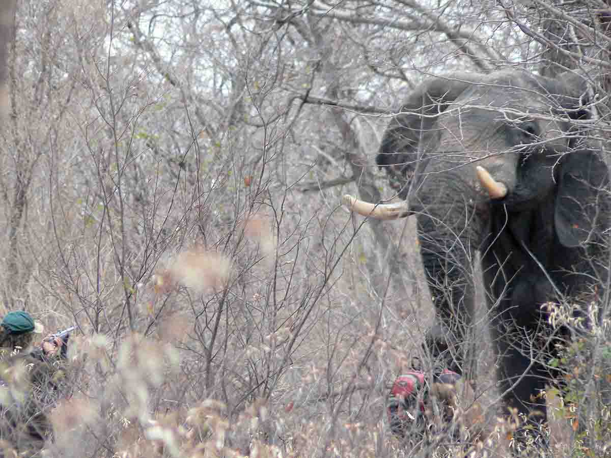 Elephant hunting in thick brush is close-range work. A bull is large and very intimidating to the novice.